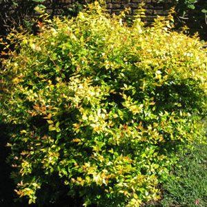 Abelia grandiflora compacta jardines patagonia vivero