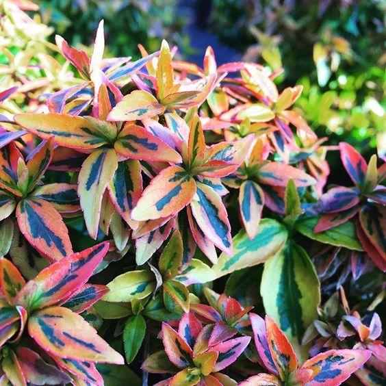 Abelia grandiflora variegata aurea Kaleidoscope jardines patagonia vivero