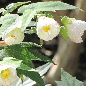 Abutilon-hybridum-Albus-jardines-patagonia-vivero-meliquina
