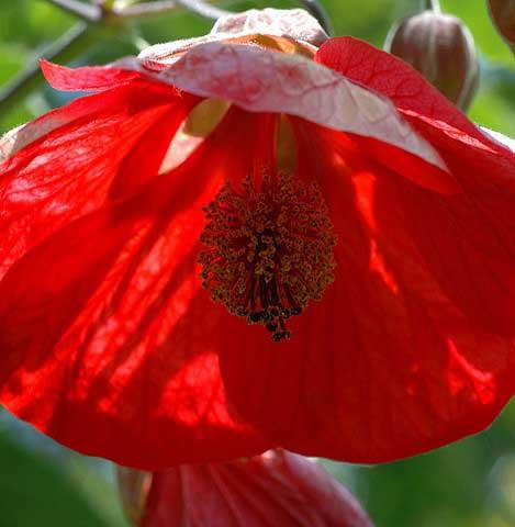 Abutilon-hybridum-Vesubius-jardines-patagonia-vivero-meliquina-