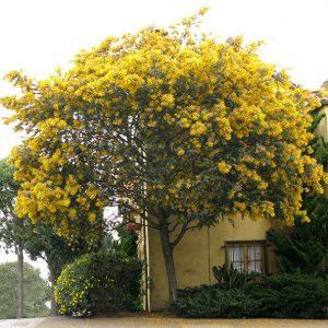 Acacia bayleyana-jardines-patagonia-vivero-meliquina-patagonia
