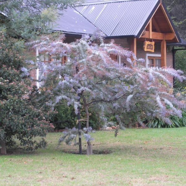 Acacia bayleyana rubra jardines patagonia vivero