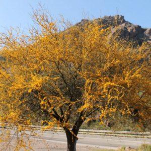 Acacia caven (Espinillo) jardines de patagonia vivero