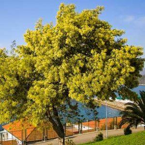 Acacia-dealbata-Aromo-frances-jardines-patagonia-vivero-