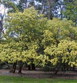 Acacia-floribunda-jardines-patagonia-vivero