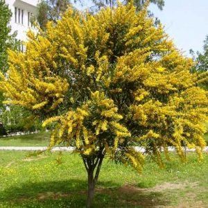 Acacia-longifolia--A.-trinervis-jardines-patagonia-vivero
