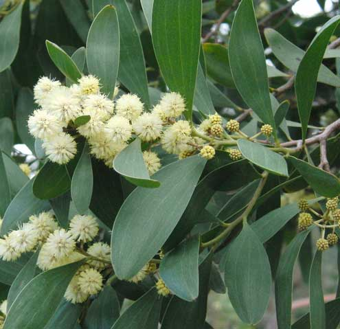 Acacia-melanoxylon-Aromo--australiano-jardines-patagonia-vivero