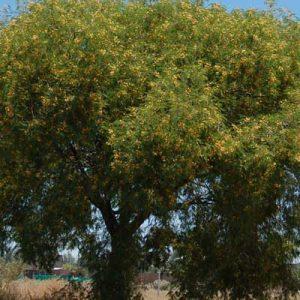 Acacia-visco-jardines-patagonia-vivero