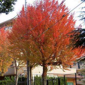 Acer-buergerianum-jardines-patagonia-vivero