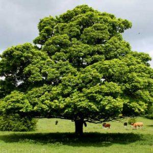 Acer-campestris-jardines-patagonia-vivero