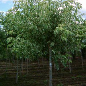 Acer negundo variegata alba jardines de patagonia vivero