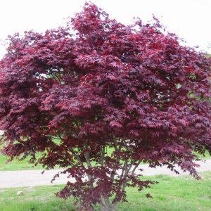 Acer palmatum Bloodgood jardines patagonia vivero