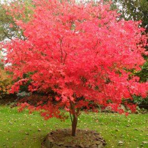 Acer-palmatum-jardines-patagonia-vivero