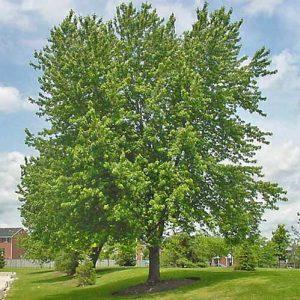 Acer-saccharinum-jardines-de-patagonia-vivero