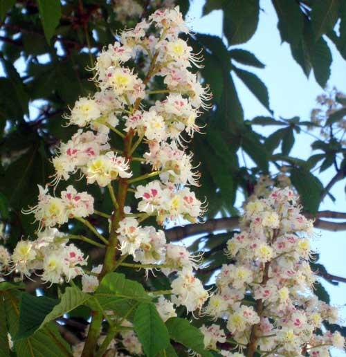 Aesculus-hipocastaneum-Castano-de-la-India,-flor-blanca,-jardines,-patagonia,-vivero