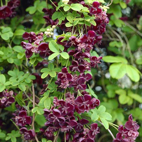 Akebia-quinata-jardines-patagonia-vivero