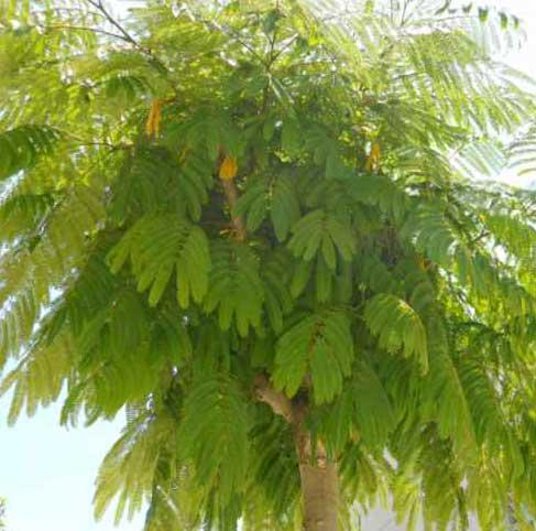 Albizzia-julibrissin-Acacia-julibrissin-A.-de-Constan-jardines-de-patagonia-vivero