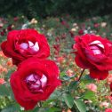 Alleluia-rosales-jardines-patagonia-meliquina