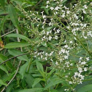 Aloysia-citriadora-(Cedron-jardines-patagonia-vivero