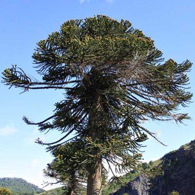 Araucaria-araucana.-Pehuen-(imbricata)-jardines-patagonia-vivero-meliquina-arboles-forestacion-arborizacion-argentina