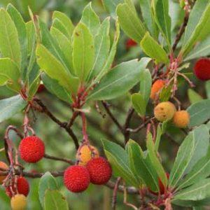 Arbutus-unedo-(Madrono,-jardines-patagonia-vivero-meliquina-forestacion-paisajismo