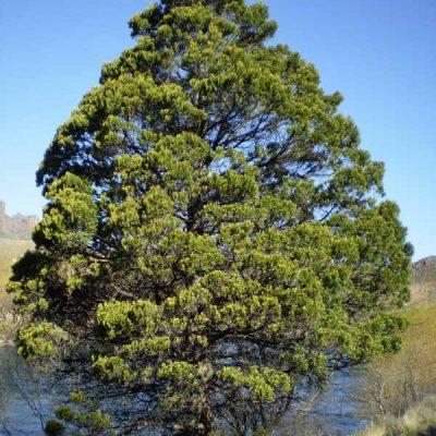 Austrocedrus-chilensis.-Cipres-de-la-cordillera-jardines-de-la-patagonia-vivero-meliquina-forestacion