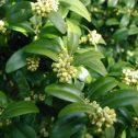Buxus-sempervirens-jardines-patagonia