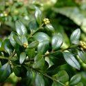 buxus-sempervirens-vivero-patagonia-gaston-cassoli