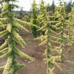 Cedro atlantica aurea jardines patagonia meliquina