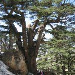 Cedrus líbani (Cedro del Líbano),