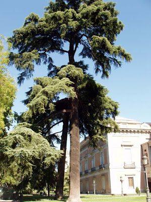 Cedrus líbani (Cedro del Líbano)2