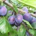 Ciruelos Europeos Prunus domestica