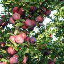 Ciruelos Japones-Prunus salicina