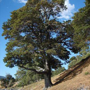 Coihue- Nothofagus-dombeyi-vivero-jardines-patagonia-meliquina-bariloche-nativas-patagonicas