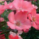 Coral-meidiland-jardines-patagonia