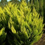 Cupressus macrocarpa lutea Gold Crest `Wilma´