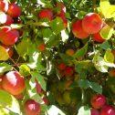 Duraznos-Prunus-persica-enanos-jardines-patagonia-vivero