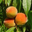 Duraznos---Prunus-persica-jardines-patagonia