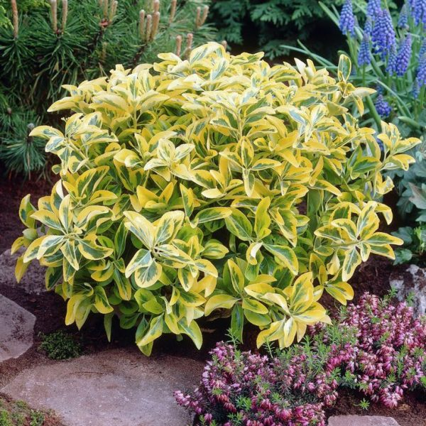 Euonymus japónica pulcheris-jardines-patagonia-vivero
