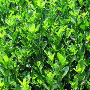 Euonymus japónica radicans alba-jardines-patagonia-vivero