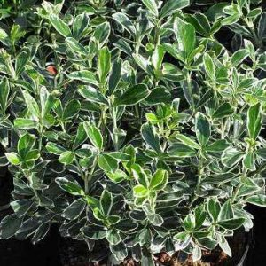 Euonymus-japonica-suzan-jardines-patagonia-vivero