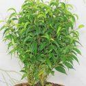 Ficus-benjamina-Natasja-jardines-patagonia