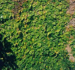 Ficus pumila (Ficus repens) (Enamorada del muro)-jardines-patagonia-vivero-paisajismo-diseno