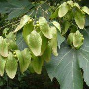 Firmiana-simplex-(Sterculia-platanifolia)-jardines-vivero