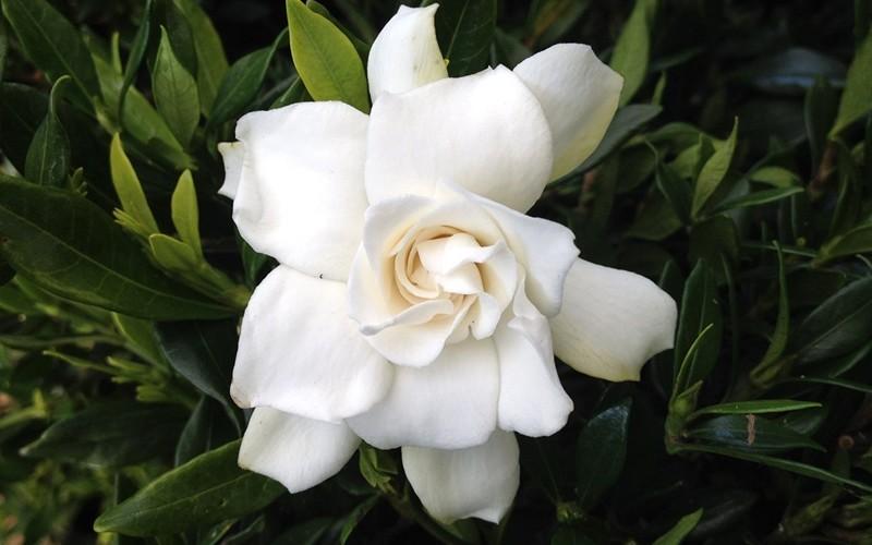 Gardenia augusta fortuniana