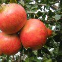 Granados - Punica granatum-jardines-patagonia