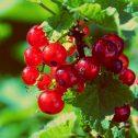 Grosellero - Ribes grossularia