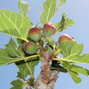 Higos - Ficus carica- brevos-jardines-patagonia