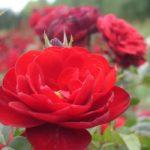 Intrigue -Lavaglut-jardines-patagonia-vivero-rosal