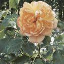 Jean-Giono-rosales-jardines-de-la-patagonia